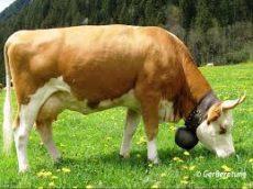 Produit au lait de vache